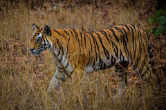 Animal de tigre Photographie stock