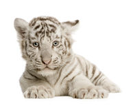 Animal de tigre blanc (2 mois) Images libres de droits