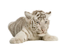 Animal de tigre blanc (2 mois) Photos stock