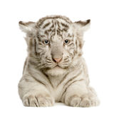 Animal de tigre blanc (2 mois) Photographie stock