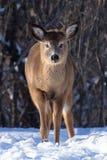 Animal de um ano dos cervos da cauda branca Fotos de Stock