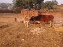 Animal de village photos libres de droits