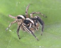 Animal del artrópodo de la araña Fotos de archivo libres de regalías