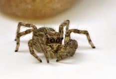 Animal del artrópodo de la araña Imagenes de archivo