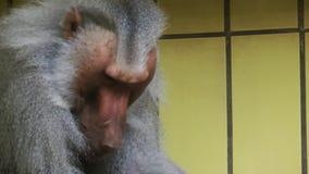 Animal del babuino en parque zoológico almacen de video