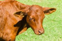 Animal del becerro del ganado Foto de archivo libre de regalías