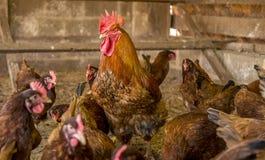 Animal del campo de la creación del pollo fotos de archivo
