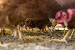Animal del campo de la creación del pollo foto de archivo libre de regalías