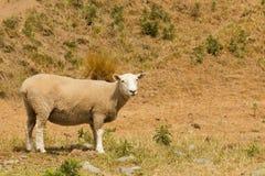 Animal del campo lindo de las ovejas del bebé sobre campo seco del vidrio verde foto de archivo libre de regalías