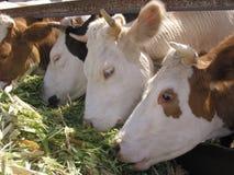 Animal del campo - vista lateral de la vaca, 5 años, colocándose imagen de archivo libre de regalías