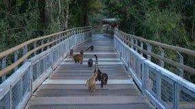 Animal del Coati en las cataratas del Iguazú en la Argentina Imagen de archivo libre de regalías
