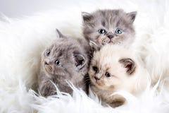 Animal del gato de los babys del gatito fotos de archivo libres de regalías