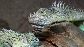Animal del lagarto del reptil de la iguana en naturaleza almacen de metraje de vídeo