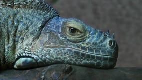 Animal del lagarto del reptil de la iguana en naturaleza metrajes