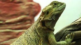 Animal del lagarto del reptil de la iguana en naturaleza almacen de video