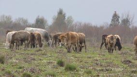 Animal del mamífero de la granja de Bull y de la vaca almacen de metraje de vídeo