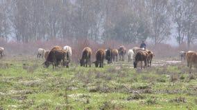 Animal del mamífero de la granja de Bull y de la vaca metrajes
