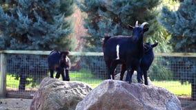 Animal del mamífero de las cabras almacen de metraje de vídeo