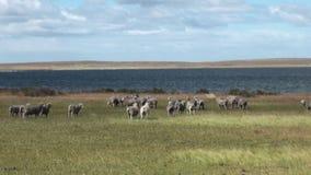 Animal del mamífero del jumbuck de las ovejas del cordero en la costa del océano de la Patagonia almacen de video