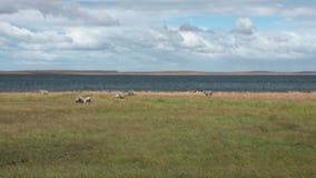 Animal del mamífero del jumbuck de las ovejas del cordero en la costa del océano de la Patagonia metrajes