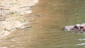 animal del mamífero del hipopótamo 4K en el río natural almacen de metraje de vídeo