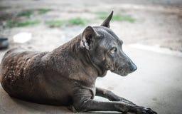 animal del Negro-perro Imagenes de archivo