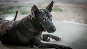 animal del Negro-perro Foto de archivo