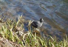 Animal del pájaro de la focha Imagen de archivo