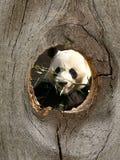 Animal del parque zoológico de la panda en agujero de nudo de la cerca fotografía de archivo