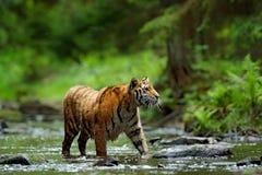 Animal del peligro, tajga en Rusia Tigre en el río Escena de la fauna de la acción del tigre, gato salvaje, hábitat de la natural Fotos de archivo