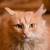 Portrait of a red cat. Animal is depicted closeup the full face. In the home of life. Interior decoration Royalty Free Stock Photography