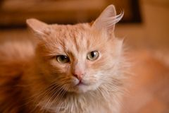 Portrait of a red cat. Animal is depicted closeup the full face. In the home of life. Interior decoration Royalty Free Stock Images