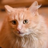 Portrait of a red cat. Animal is depicted closeup the full face. In the home of life. Interior decoration Stock Photography