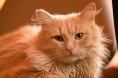 Portrait of a red cat. Animal is depicted closeup the full face. In the home of life. Interior decoration Royalty Free Stock Image