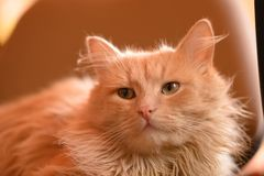 Portrait of a red cat. Animal is depicted closeup the full face. In the home of life. Interior decoration Stock Images