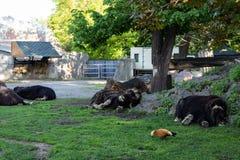 Animal desafortunado Buey de almizcle desalinado lamentable en el parque zoológico de Moscú fotos de archivo libres de regalías