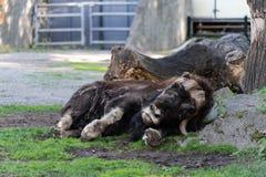 Animal desafortunado Buey de almizcle desalinado lamentable en el parque zool?gico de Mosc? imágenes de archivo libres de regalías