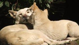 Animal - dingo Imagenes de archivo