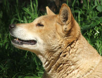 Animal - dingo Royalty Free Stock Photography