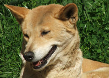 Animal - dingo Royalty Free Stock Photos