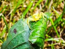 Animal do artrópode da aranha fotografia de stock royalty free