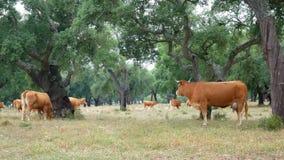 Animal do campo de grama da vaca filme