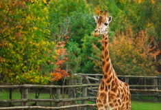 Animal do girafa na natureza Fotografia de Stock Royalty Free