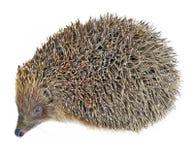 Animal do Hedgehog isolado no branco fotografia de stock royalty free