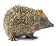 Animal do Hedgehog isolado no branco Fotos de Stock Royalty Free