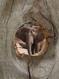 Animal do jardim zoológico do elefante no furo de nó da cerca Imagem de Stock