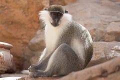 Animal do macaco verde em sua foto do habitat natural África kenya Fotografia de Stock