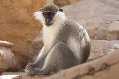 Animal do macaco verde em sua foto do habitat natural África kenya Fotografia de Stock Royalty Free