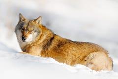 Animal do perigo na neve Cena com o lobo no lobo cinzento da floresta, lúpus do inverno de Canis, retrato com a língua para fora  Foto de Stock