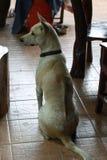 Animal. Dog back Thaidog Stock Photo